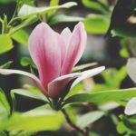 "NOWOŚĆ – Magnolia soulangeana 'Satisfaction"""