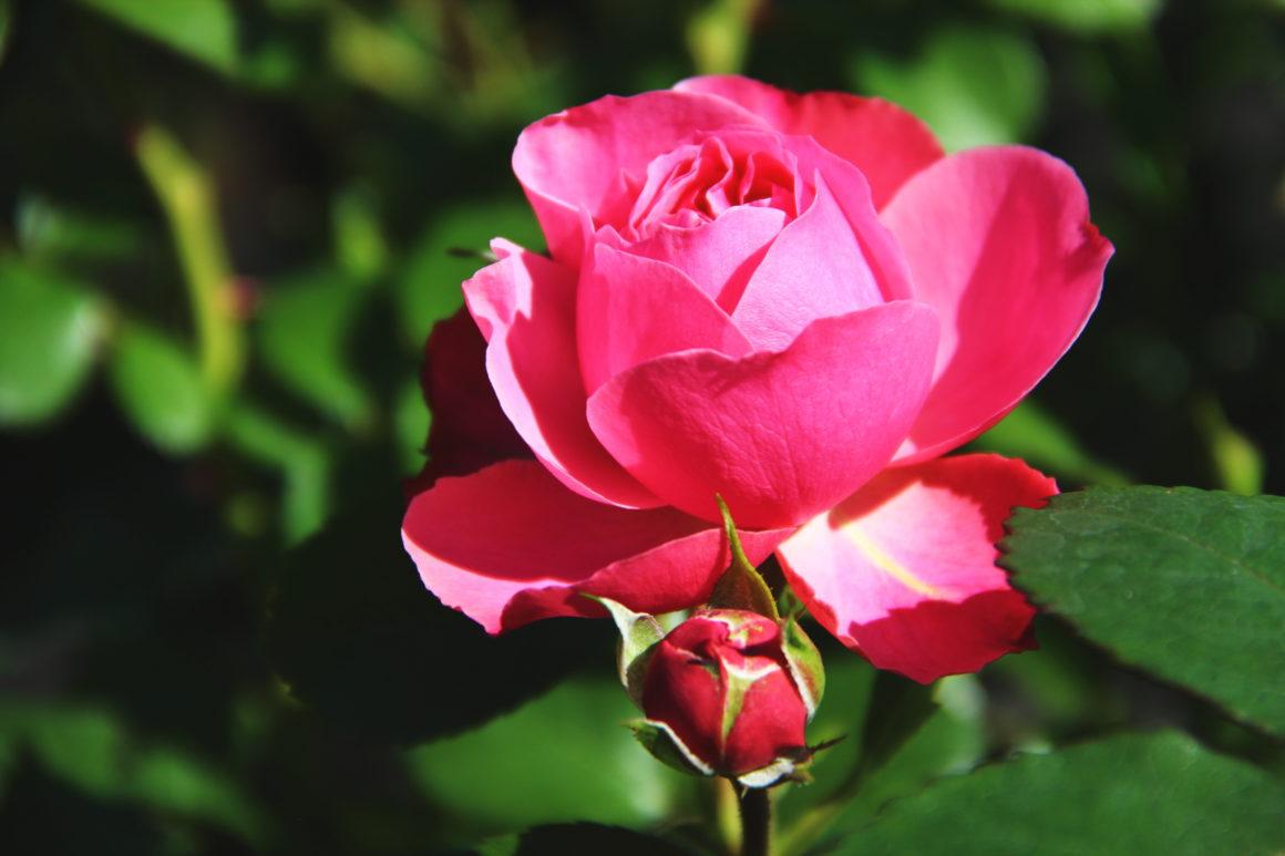 Róże – królowe lata