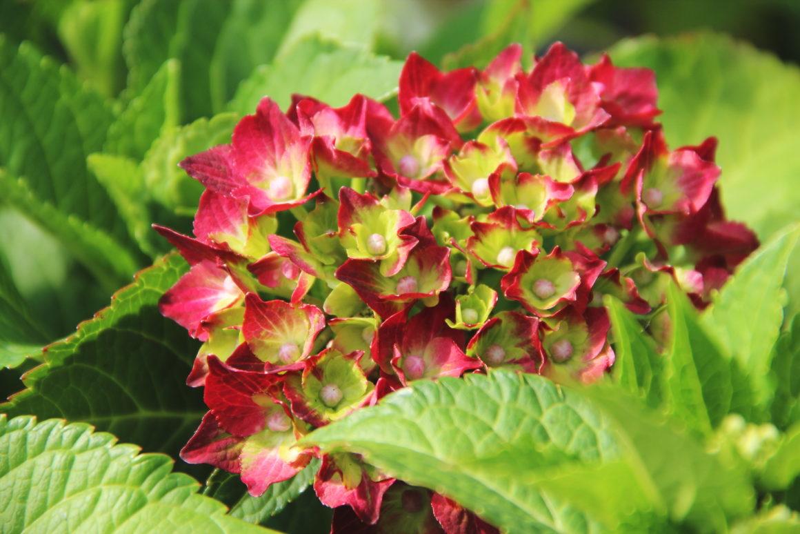 HIT – Hortensja ogrodowa Magical Four Seasons