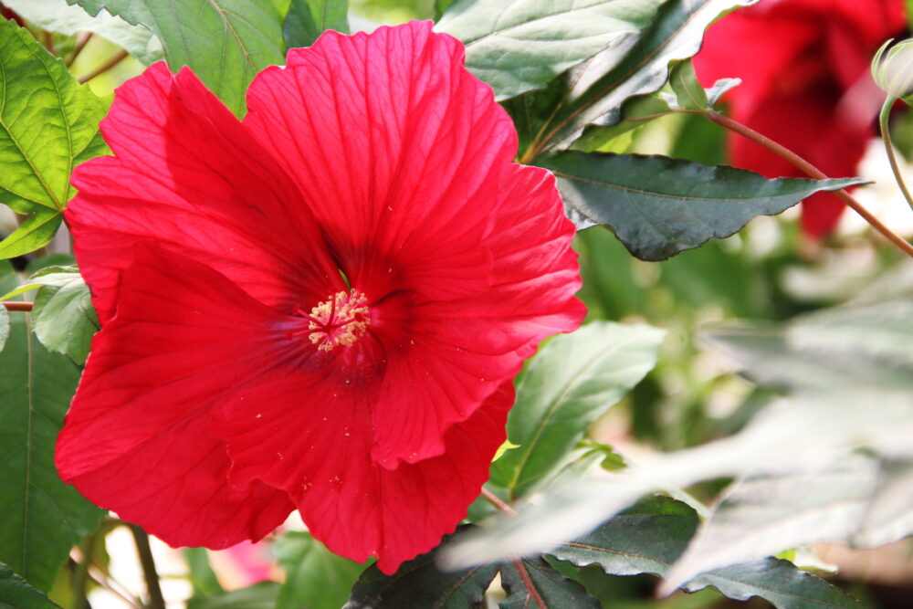 hibiskus bylinowy