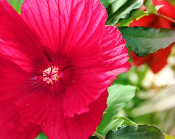 HIT! – Hibiskus bylinowy wielkokwiatowy