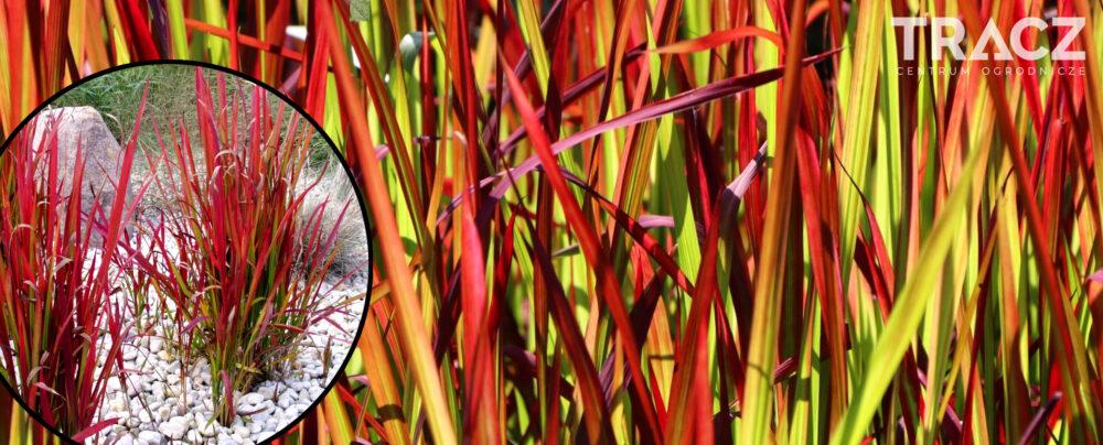 TRAWA OZDOBNA Imperata cylindryczna 'Red Baron' (imperata cylindrica)