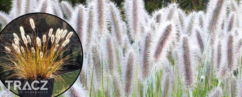 TRAWA OZDOBNA Rozplenica japońska 'Herbstzauber' (pennisetum alopecuroides)