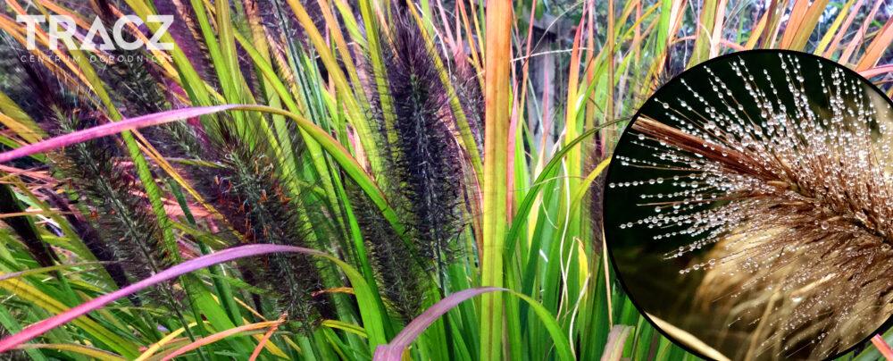 TRAWA OZDOBNA Rozplenica japońska 'Black Beauty' (pennisetum alopecuroides)