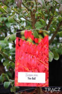 trzmielina oskrzydlona 'fire ball' (euonymus alatus, płonący krzew) - dary jesieni