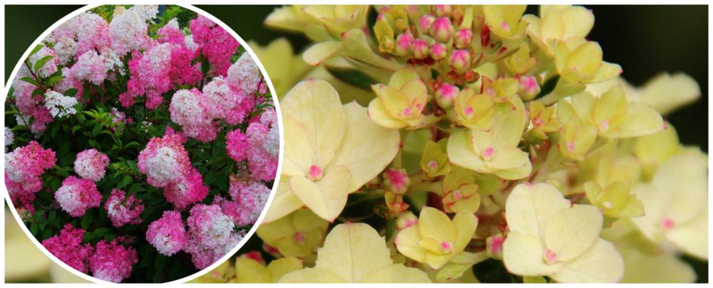 Hortensja bukietowa (hydrangea paniculata) FRAISE MELBA 'Renba'