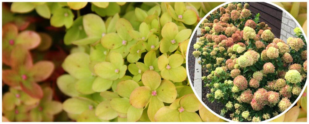 Hortensja bukietowa (hydrangea paniculata) LITTLE LIME 'Jane'