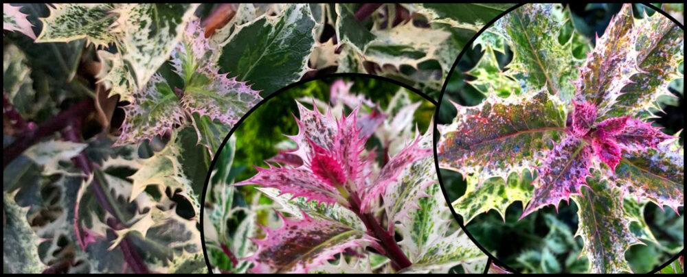 Ostrokrzewy, Ostrokrzew kolczasty (ilex aquifolium) 'Ingramii'