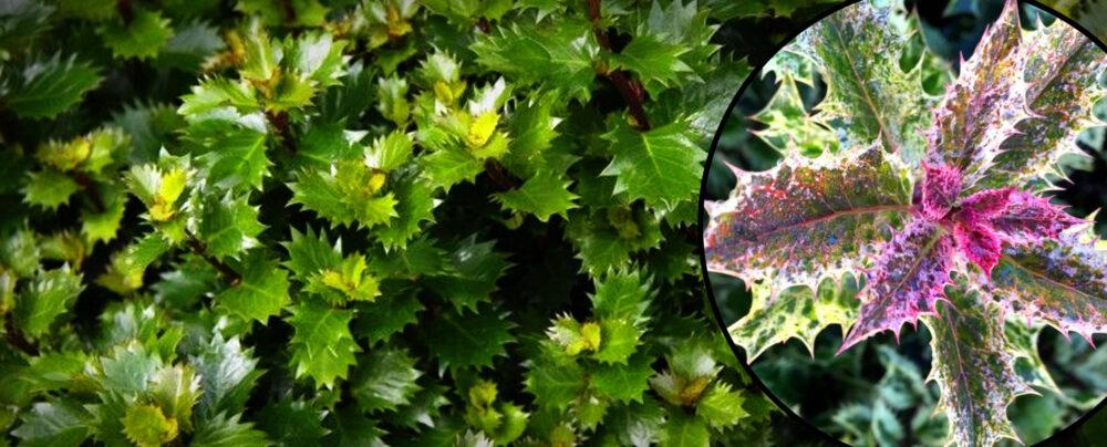 Ostrokrzewy, Ilex x meserveae 'Little Rascal', Ilex crenata 'Golden Gem', Ilex aquifolium 'Ingrami'