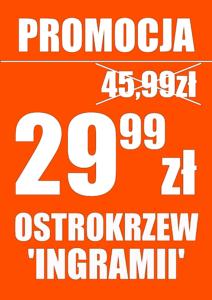 Ostrokrzew (ilex) 'Ingramii' - PROMOCJA