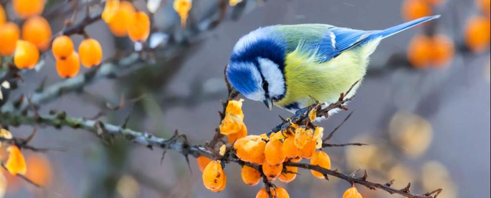 dokarmianie ptaków pokarm dla ptaków