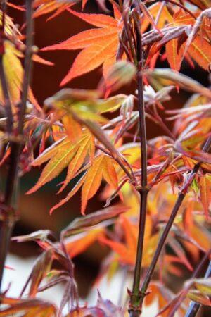 Acer palmatum 'Atropurpureum' 50-60cm