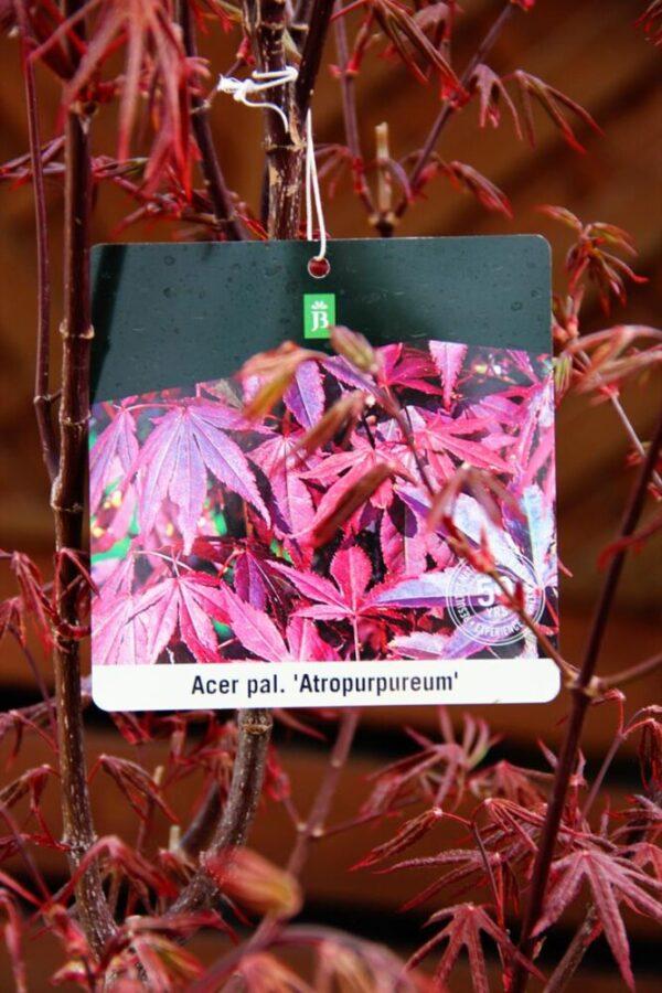 Acer palmatum 'Atropurpureum' 80-100cm
