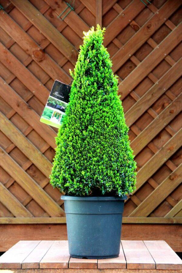 Buxus sempervirens 70-80 Stożek
