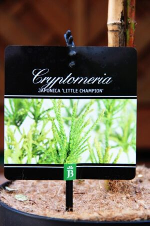 Cryptomeria j. 'Little Champion'