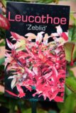 Leucothoe 'Zeblid'