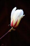 Magnolia 'Sunrise'