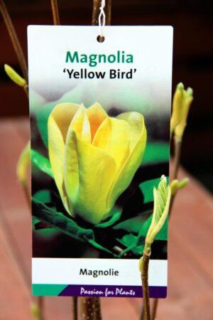Magnolia b. 'Yellow Bird'