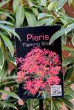 Pieris 'Flaming Silver'