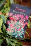 Pieris 'Forest Flame'