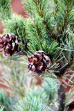 Pinus parv. 'Negishi'