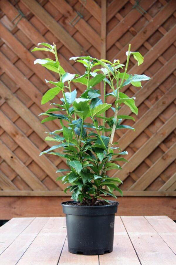 Prunus laur. 'Genolia'