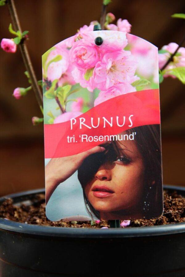 Prunus triloba 'Rosenmund'