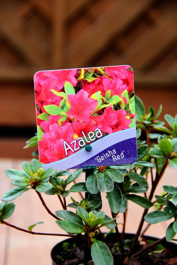 Rhododendron (Azalea Japonica) 'Geisha Red
