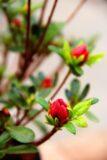 Rhododendron (Azalea Japonica) 'Geisha Orange'