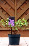 Rhododendron (Azalea Japonica) 'Geisha Purple'