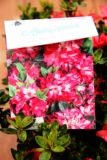 Rhododendron (Azalea Japonica) 'Izumi-no-mai' PINK RED