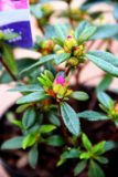 Rhododendron (Azalea Japonica) 'Koningstein'