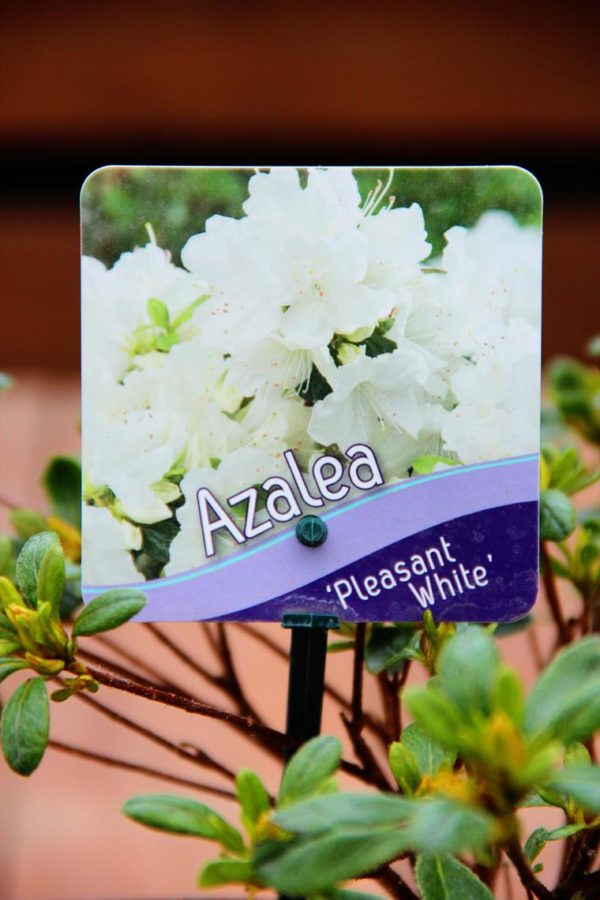 Azalia japońska 'Pleasant White