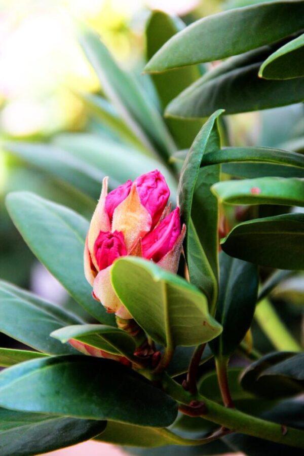 Rhododendron 'Cosmopolitan'