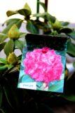 Rhododendron 'Germania' DARK PINK