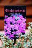 Rhododendron 'Impeditum'