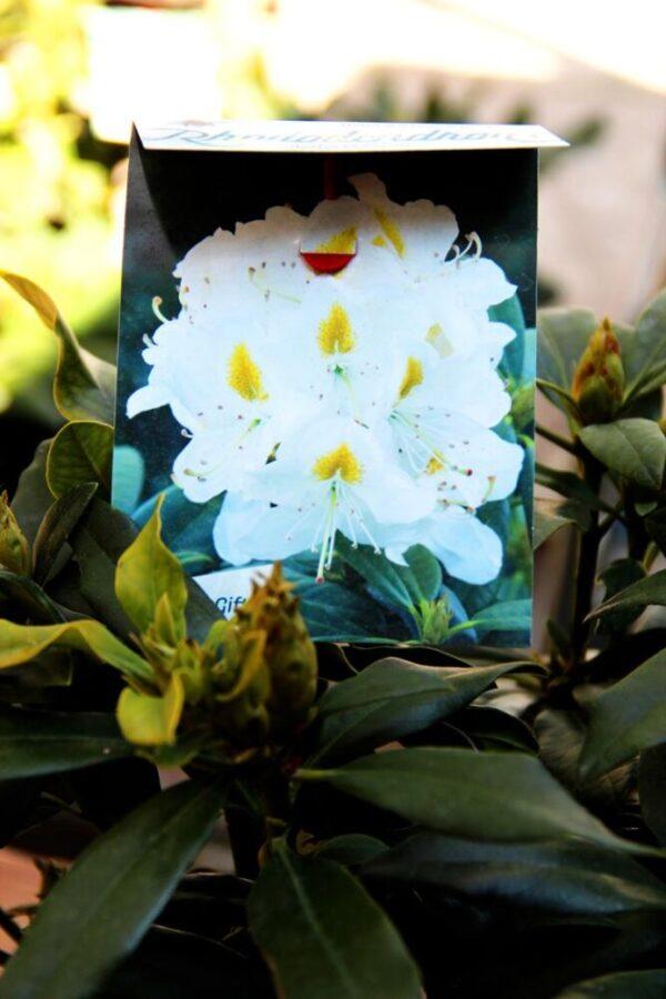 Rhododendron 'Madame Mason' WHITE