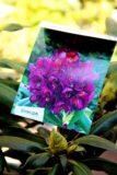 Rhododendron 'Marcel Menard' PURPLE