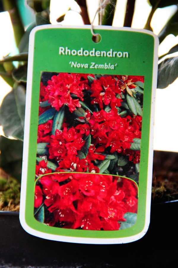 Rhododendron 'Nowa Zembla'