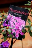 Rhododendron 'Rampo'