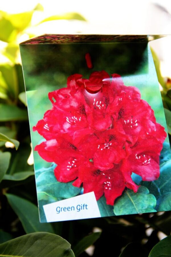 Rhododendron 'Red Jack' RED