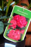 Rhododendron 'Virginia Richards' PINK