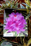 Rhododendron pont. 'Variegatum' PURPLE