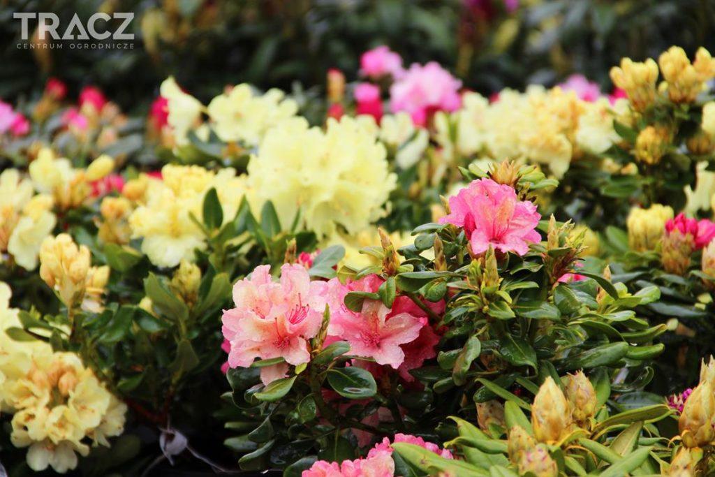 rhododendron, rododendron, azalia, azalea