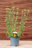 Achillea millefolium Desert Eve Yellow - Krwawnik pospolity Desert Eve Yellow