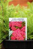 Achillea millefolium Desert Eve Deep Rose - Krwawnik pospolity Desert Eve Deep Rose