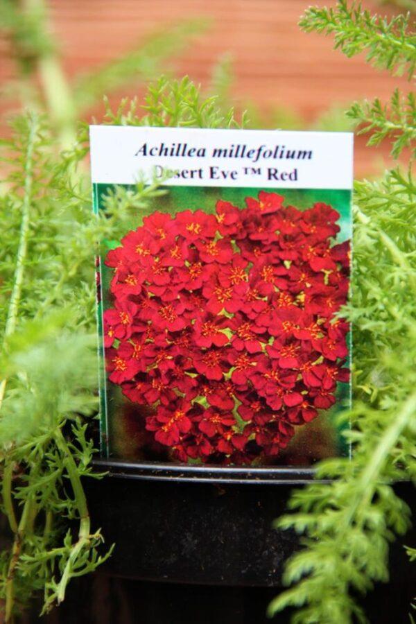 Achillea millefolium Desert Eve Red - Krwawnik pospolity Desert Eve Red