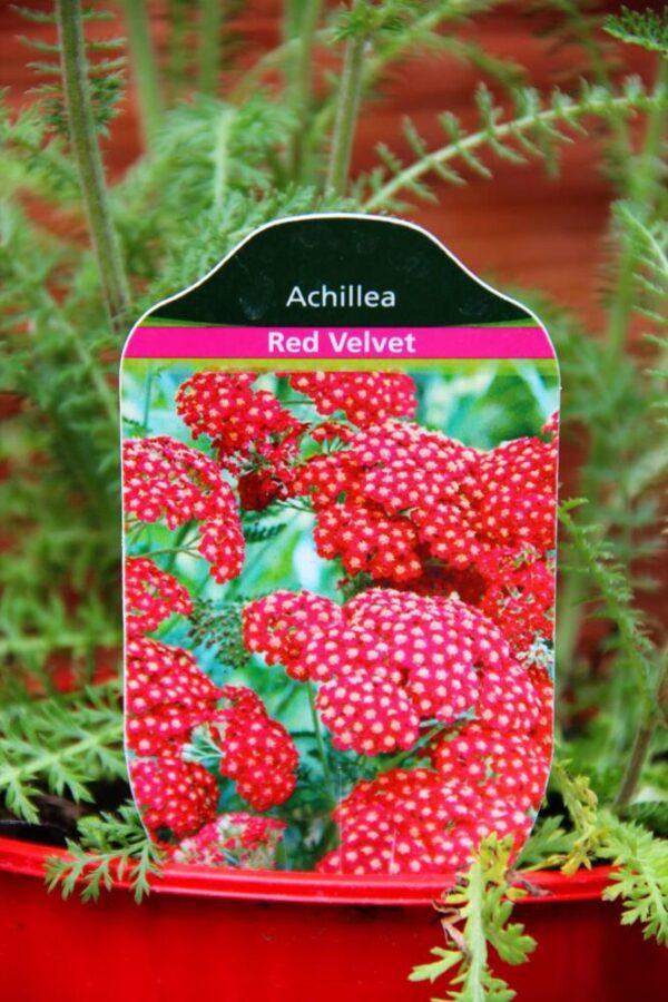 Achillea millefolium 'Red Velvet', krwawnik pospolity 'Red Velvet'