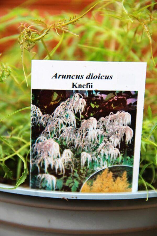 Parzydło leśne 'Kneiffii' Aruncus dioicus