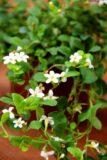 Bakopa (łac. Sutera diffusa)